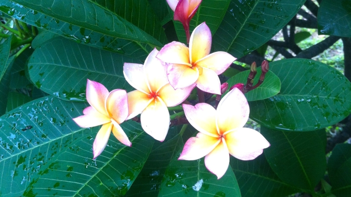 Vientiane, ville fleurie