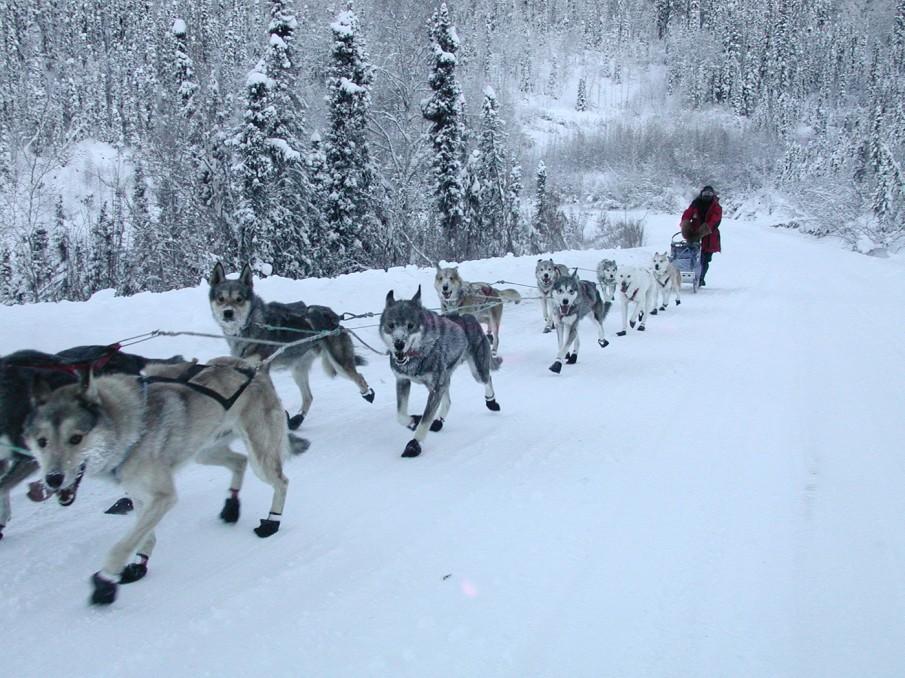 chiens-de-traineau-alaska