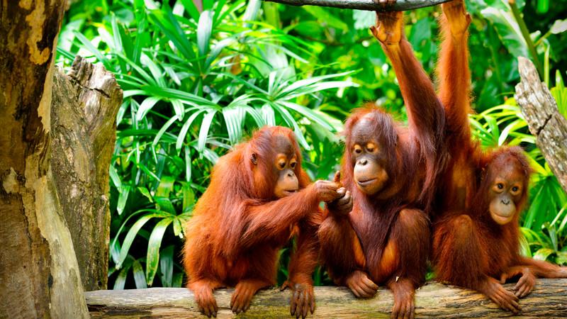 Borneo Orangutans